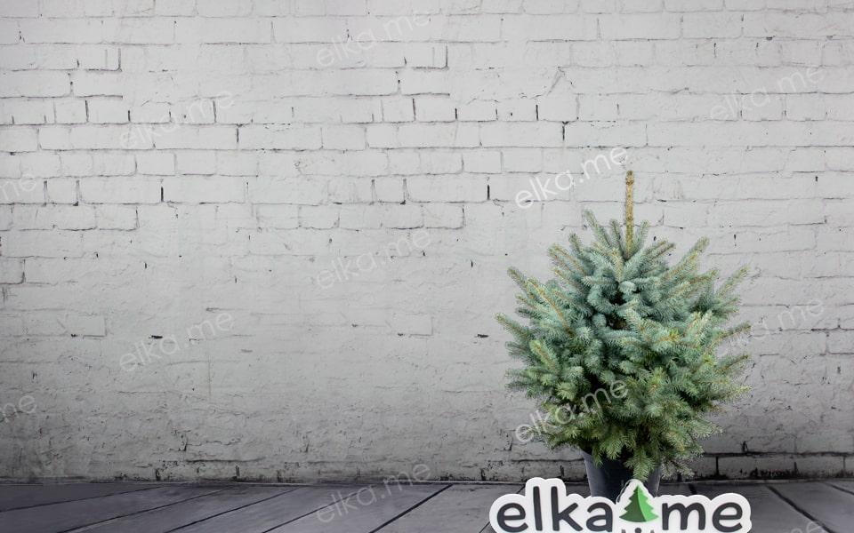 Голубая елка в горшке